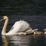 Swan and cygnets in the sun