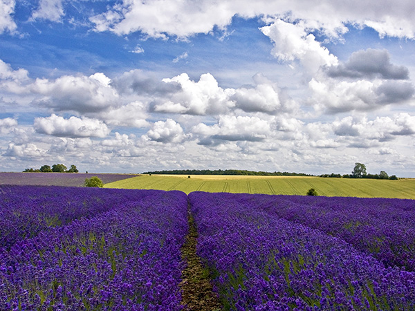 Lavender Landscape