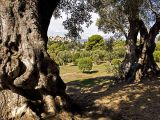 Renoir's View Through the Old Olive Trees