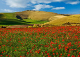 Poppies near Fontmell Down