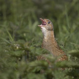 A singing Corncrake