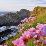 Pinks at Malin Head