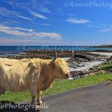Wild Cattle near Hynish, Tiree