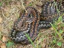 Adders (Vipera berus) basking