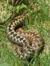 Male (left) and female (right) adders (Vipera berus) in courtship, Malvern Hills