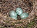 Blackbird (Turdus merula) eggs