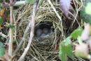 Chiffchaff (Phylloscopus collybita) nest with eggs