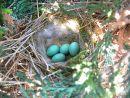 Dunnock (Prunella modularis) eggs