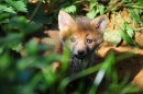 Fox cub (Vulpes vulpes) emerging from its earth