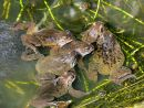 Common frogs (Rana temporaria) spawning