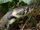 Large female grass-snake (Natrix natrix), UK