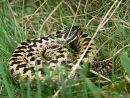 Male adder (Vipera berus), Cotswolds