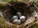 Mistle thrush (Turdus viscivorus) eggs