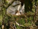 Mistle thrush (Turdus viscivorus) sitting on eggs