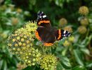 Red admiral butterfly (Vanessa atalanta) feeding on ivy flowers