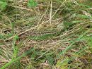 Sand lizard (Lacerta agilis) camouflaged in grass