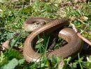 Slow-worm (Anguis fragilis), basking, Cotswolds