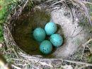Song thrush (Turdus philomelos) eggs