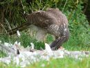 Female sparrowhawk (Accipiter nisus) feeding on collared dove prey
