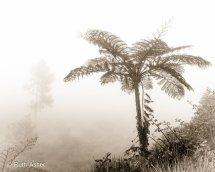 Tree Fern in the Mist