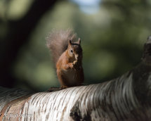 Red squirrel dinner