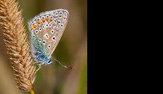 Chalkhill Blue-Butterfly