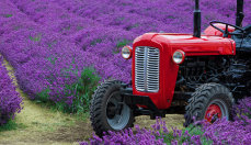 Tractor and Lavender