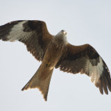 Inquisitive Red Kite