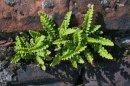 Asplenium ceterach (Rusty Back Fern)
