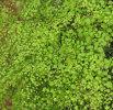 Adiantum microphyllum  Plug £3.25