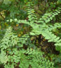 Adiantum pedatum- Northern Maidenhair Fern-9cm £3.95