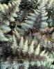 Athyrium nipponicum 'Pewter Lace'