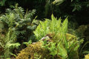 Native Fern collection- 7 ferns