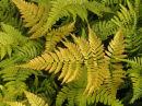 Dryopteris erythrosora 'prolifica'- Japanese Rosy Buckler Fern Plug £2.50