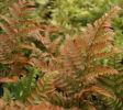 Dryopteris erythrosora  Autumn Fern plug £2.25