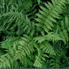 Dryopteris x remota - Remote Wood Fern 9cm £4.50