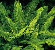 Polystichum setiferum 'Plumosum 9cm £3.95