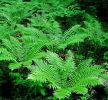 Dryopteris crasshirizoma - Thick-Stemmed Wood Fern 9cm £3.95