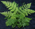 Dryopteris intermedia -Fancy Fern 9cm £4.95