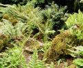 7 hardy ferns £22