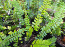 Pellaea falcata Sickle Fern