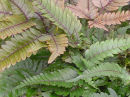 Pteris quadriaurita 'Tricolor'- Painted Brake Fern plug £2.95