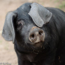 Piggy portrait