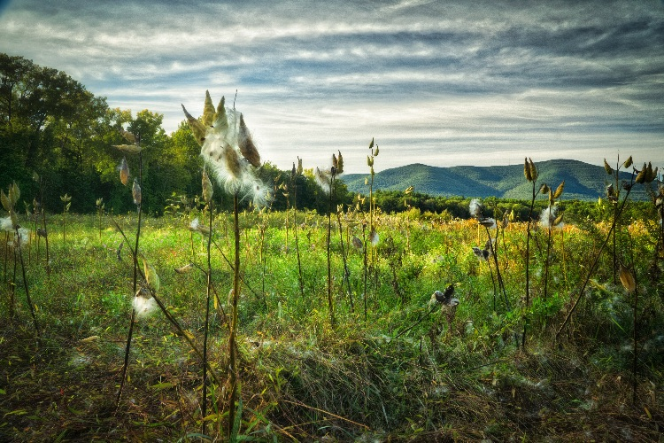 Milkweed Field, Afternoon