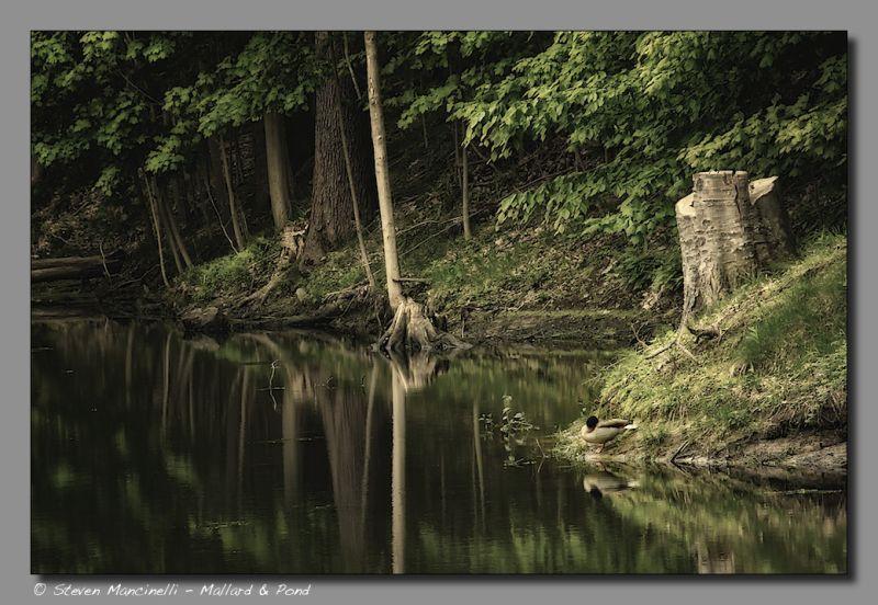 Mallard & Pond