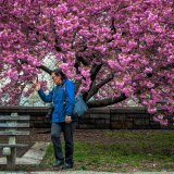 Videoing The Cherry Blossom