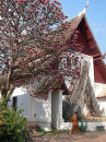 Tree Blossom in Chiang Mai