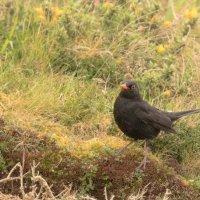 Blackbird -8008