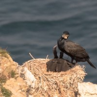 Cormorant Chicks-7132
