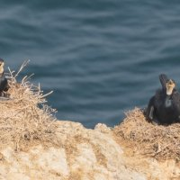 Cormorant & Chicks 2-7128